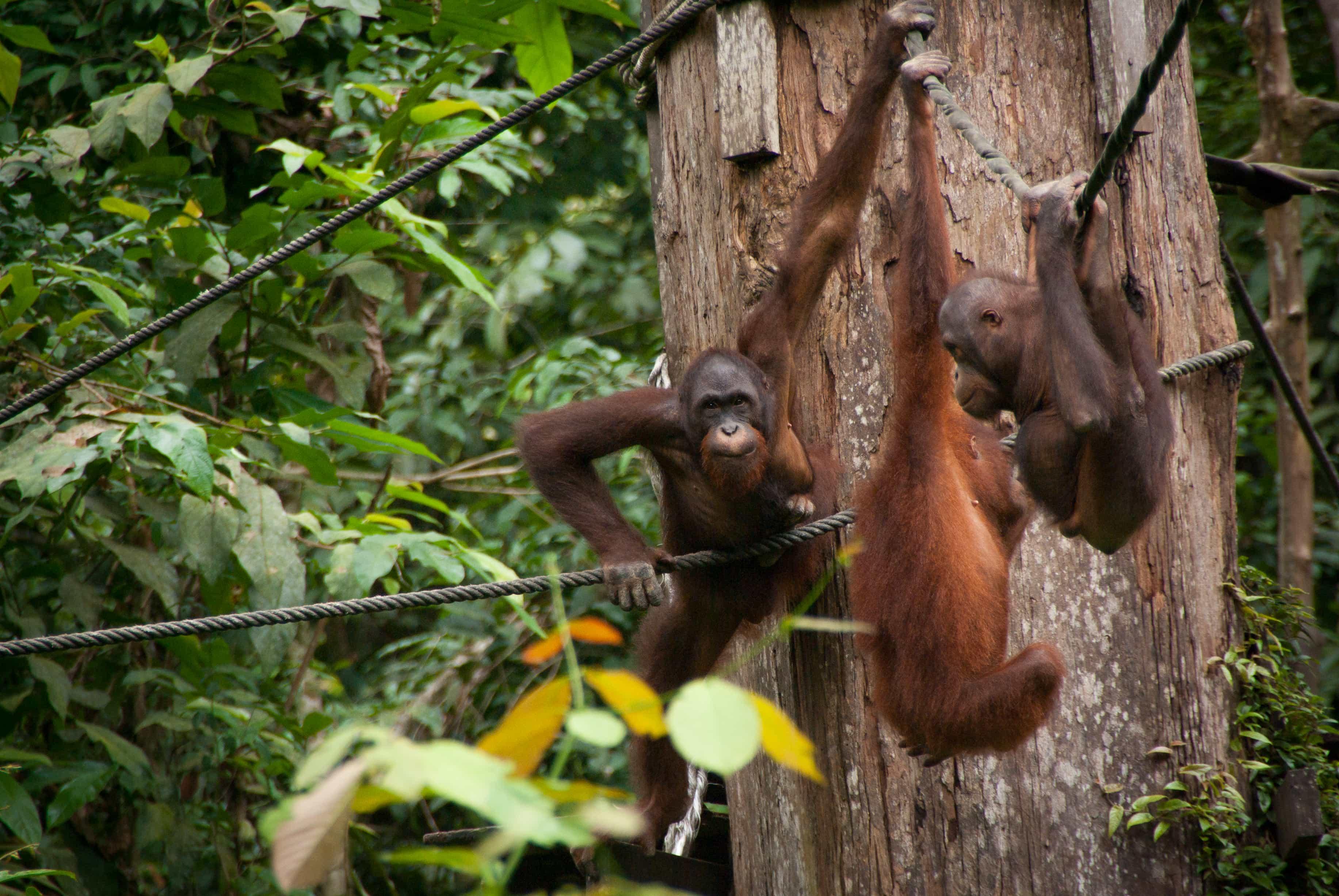 sepilok rehabilitation centre, Malaysia tourist spots