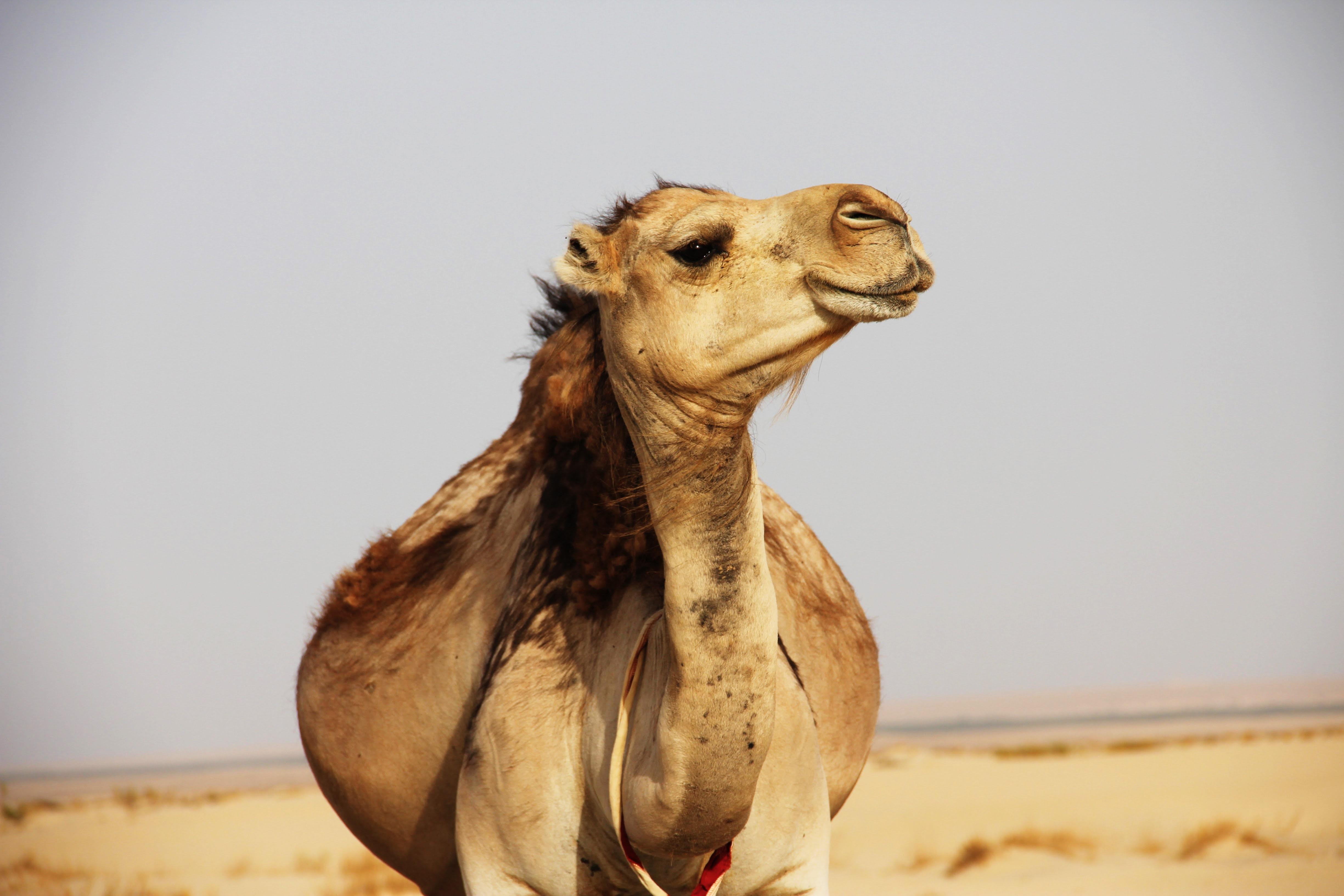 Camel ride in Pushkar, Wearing traditional costumes in Puhskar, things to do in Pushkar, Pushkar travel guide, camel safari in Pushkar