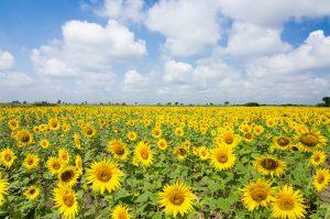 Sunflower Maze Farm