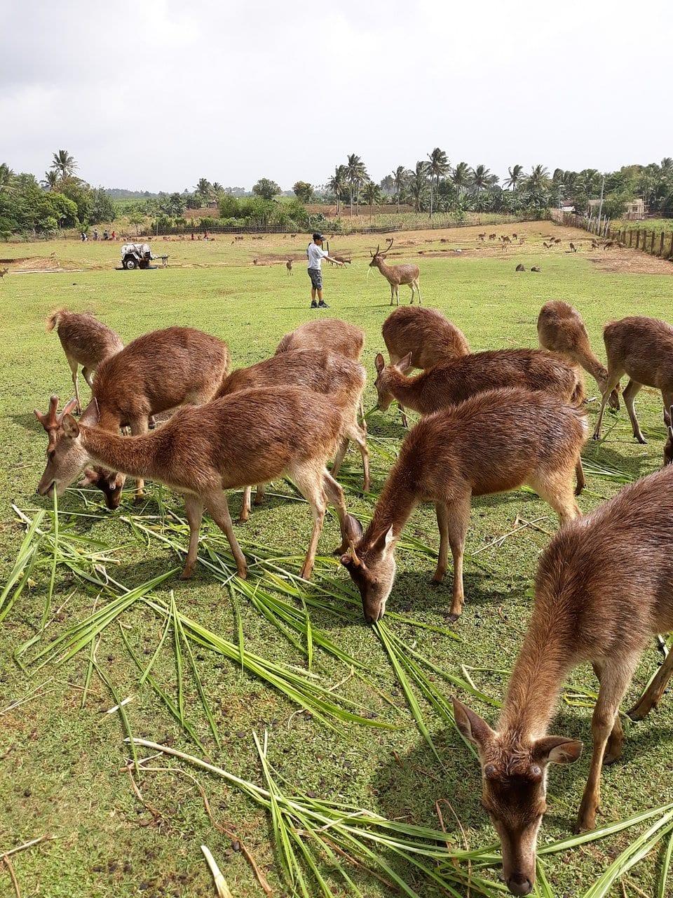 Ocampo Deer Breeding Farm, Naga tourist spots